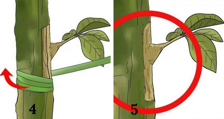 enxerto de plantas