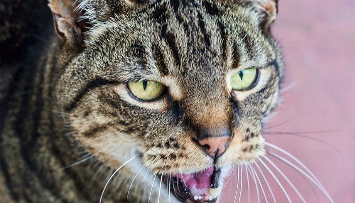miado do gato