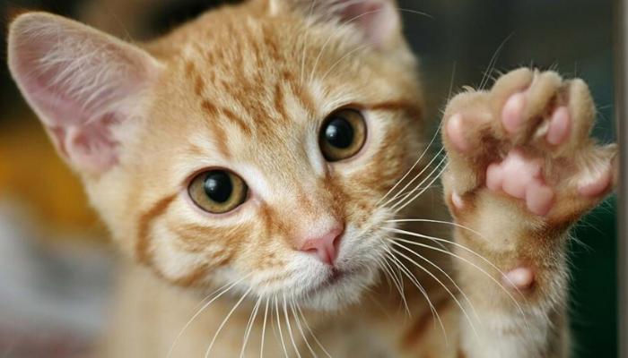gato roendo as unhas