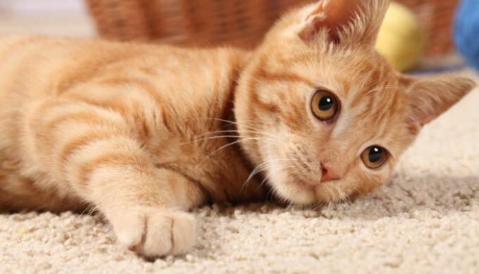 gato rolando no chão
