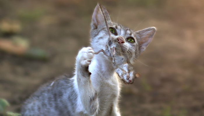 gato com rato na boca