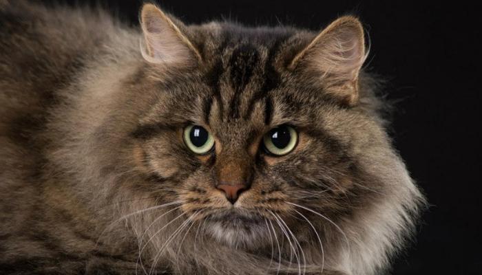 gato rosnando