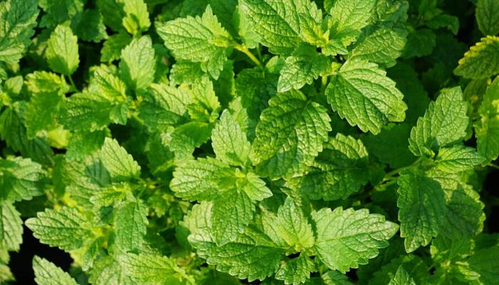 ervas-aromáticas